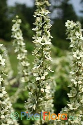 Veratrum californicum (Californian Germer)