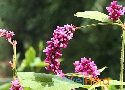 Polygonum orientale (Kiss-Me-Over-the-Garden-Gate)