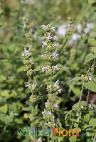 Nepeta troodii (Troodos Cat Mint) Exclusive