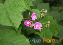 Rubus odoratus (Virginia Raspberry)