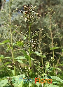Scrophularia nodosa (Knotted Figwort)