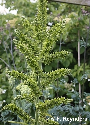 Veratrum viride (Green-Flowered Germer)