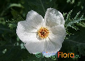 Argemone grandiflora (White Large Flowered Prickly Poppy)