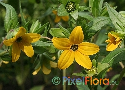 Lindheimera texana (Texas Yellowstar)