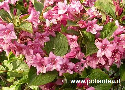 Weigelia florida