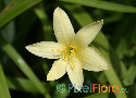 Zephyranthes primulina (Yellow Rain Lily)