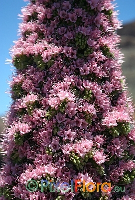 Echium wildpretii ssp. wildpretii (rose flowering)