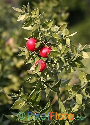 Ruscus aculeatus (Butcher's Broom)