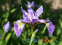 Iris versicolor (Northern Blue Flag Iris)
