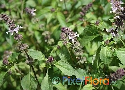 Ocimum tenuiflorum (Sweet Thai Basil)