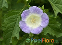 Nicandra physalodes (Apple of Peru)
