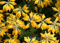 Genista hispanica (Spanish Broom)