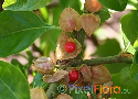 Withania somnifera (Wintercherry)