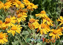 Helenium hoopesii (Orange Sneezeweed)