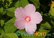 Hibiscus moscheutos (Swamp Rose Mallow)